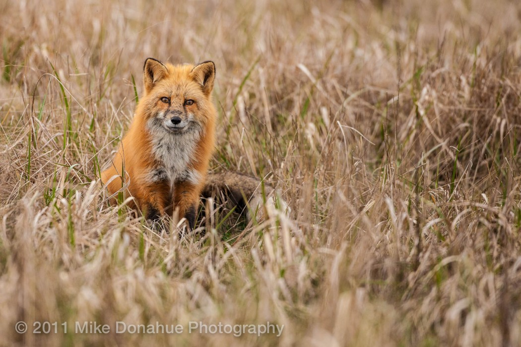 Red fox sitting the grass