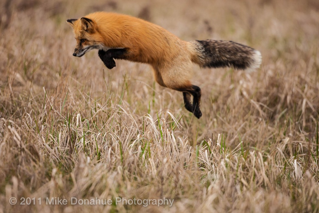 Red fox pouncing on a field mouse.