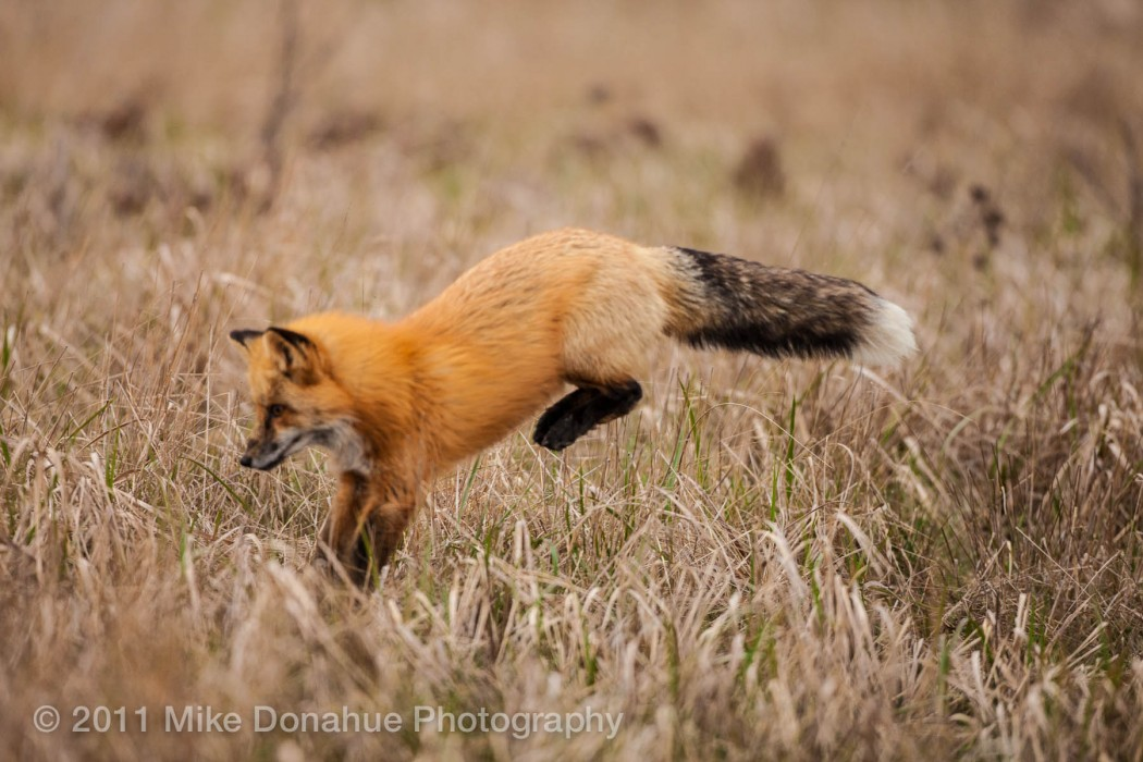 Red fox cathing lucnh 3