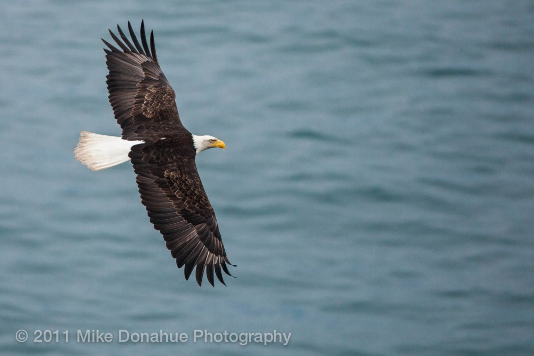 American Bald Eagle over the ocean 1