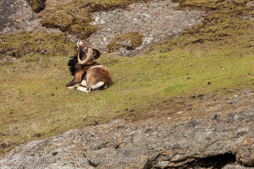 Big Horn Sheep scratching an itch
