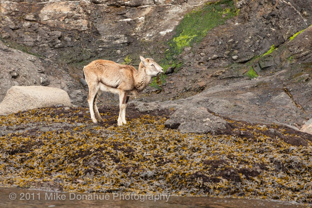 Baby big horn sheep eating sea weed by the sea shore.