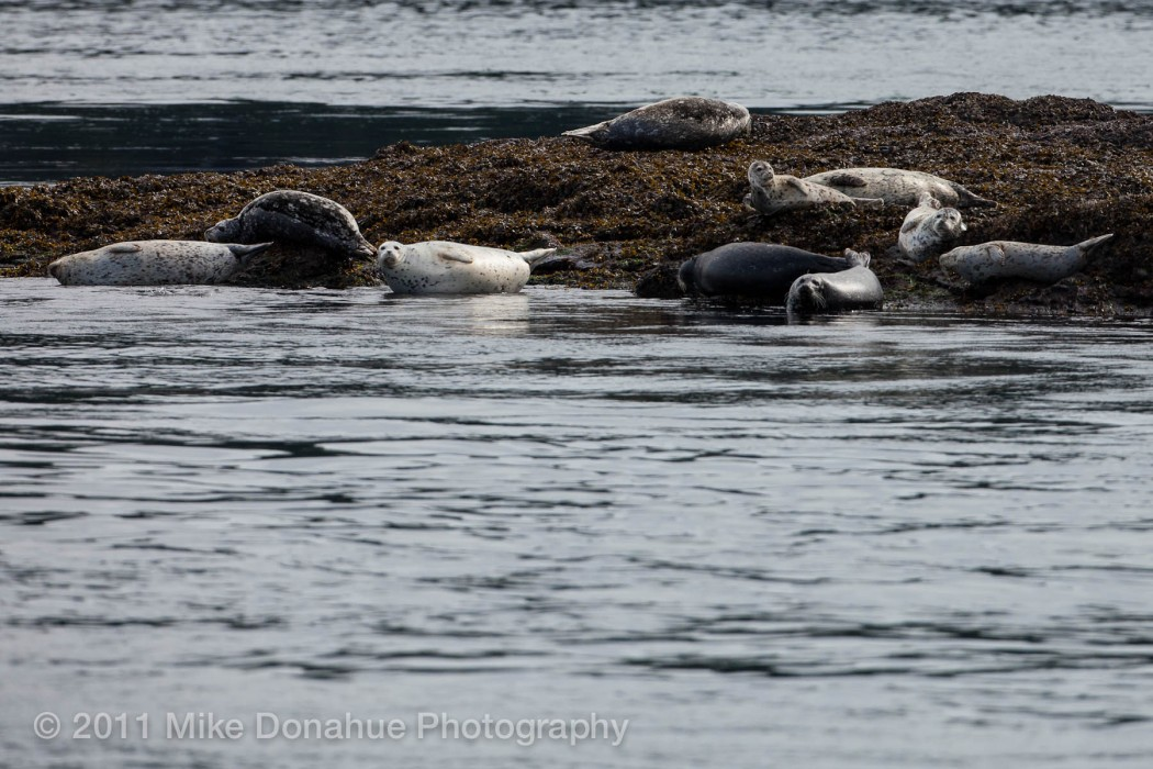 Harbor seals realxing 1