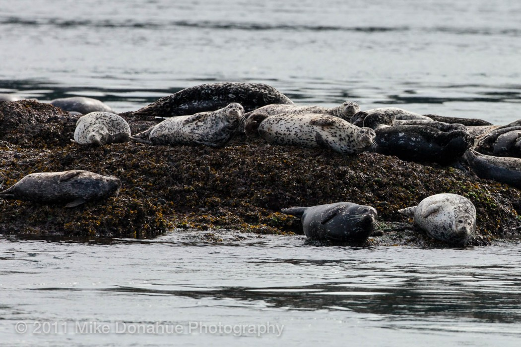 Harbor seals realxing 2
