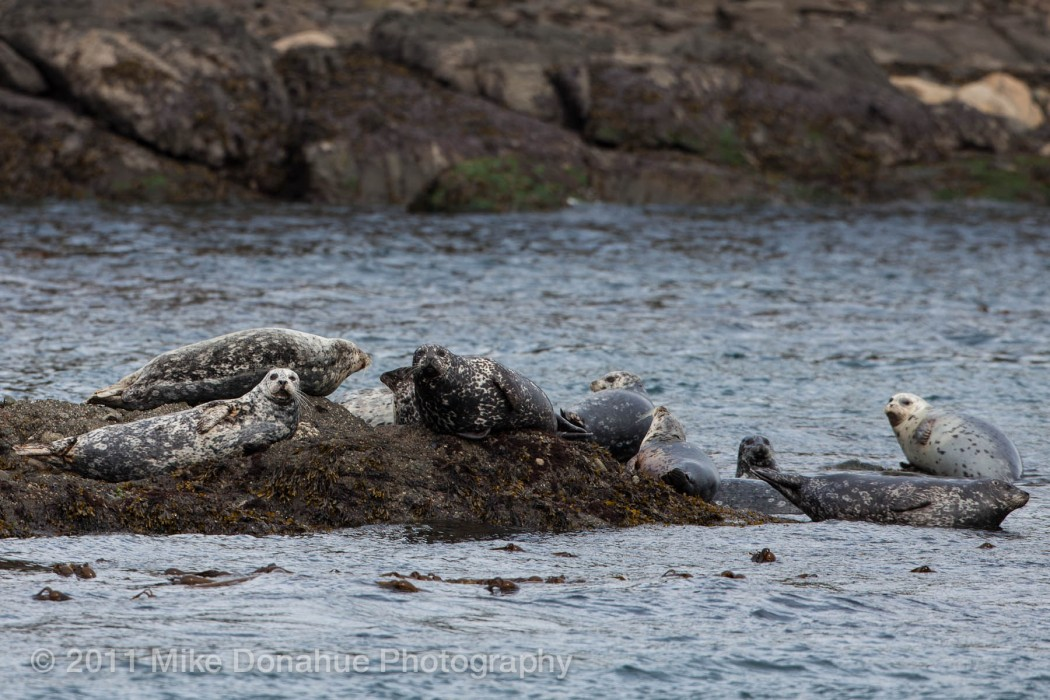 Harbor seals realxing 4