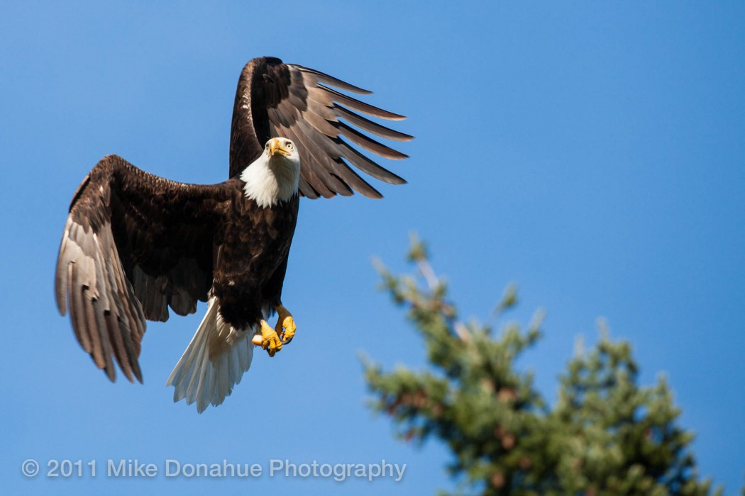 American Bald Eagle turning