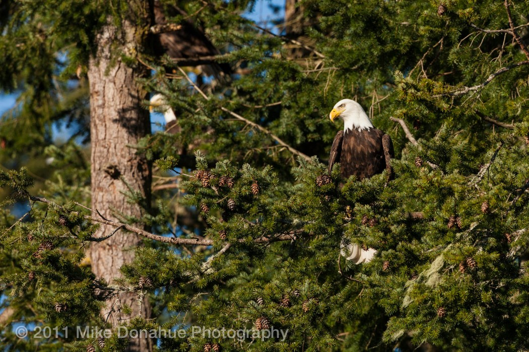 American Bald Eagle amongst friends