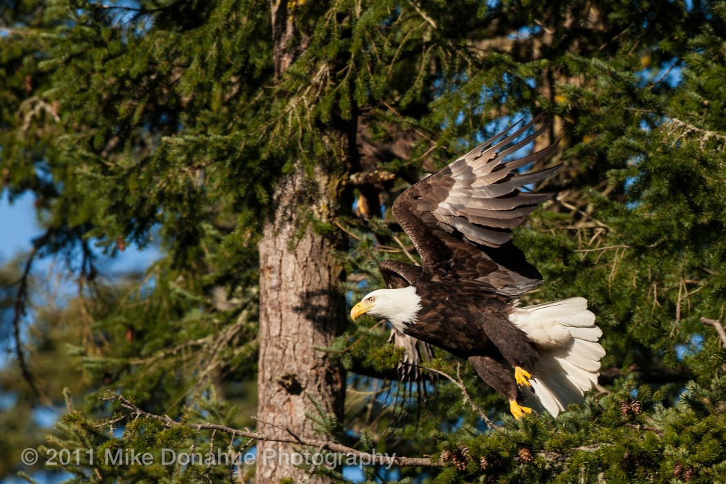 American Bald Eagle taking off